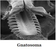 gnatosoma