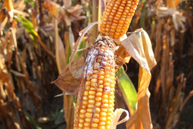 Skażeniu mikotoksynami ziarno kukurydzy często ulega już na polu (fot. Anna Kobus) farmer.pl