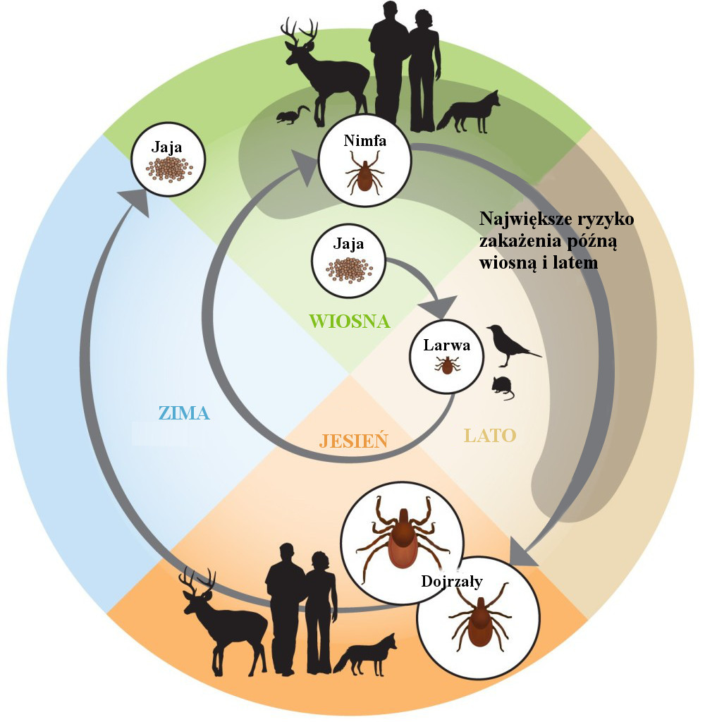 tick-life-cycle-1-1000x1024