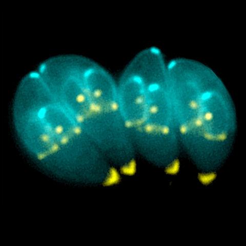 480px-Toxoplasma_gondii