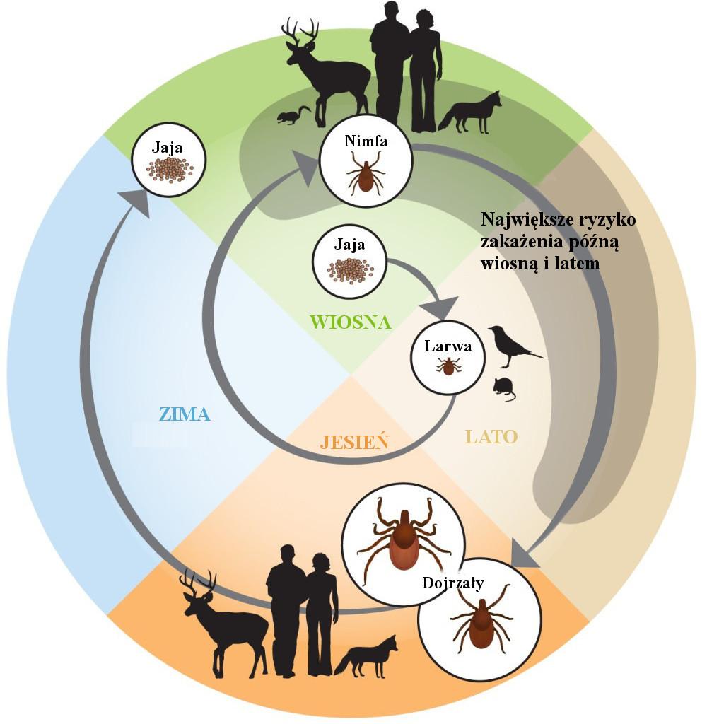tick-life-cycle-1-1000x1024